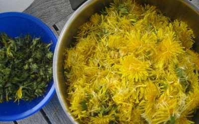 vorbereitete Löwenzahnblüten für den Farbsud